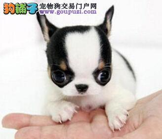 北京最大犬舍出售多种颜色吉娃娃签订合法售后协议