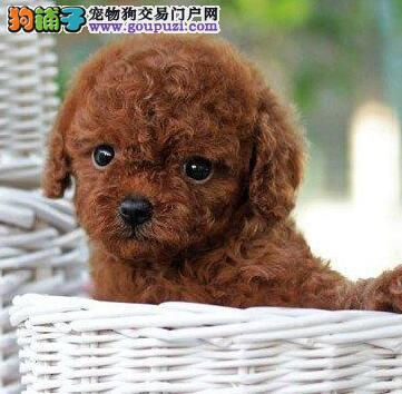贵阳专业养殖基地出售纯种健康韩系泰迪犬 有防疫证明