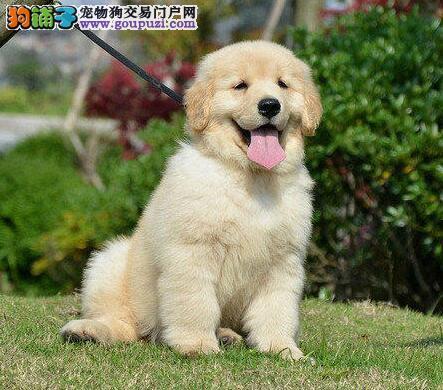 亳州市售黄金猎犬幼犬金毛寻回犬公母全可挑选