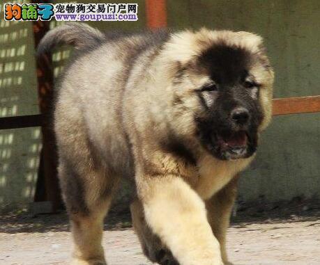宜春市出售高加索幼犬 骨架大 健康签协议 价格优惠
