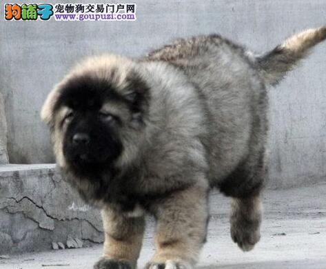 赤峰出售熊版巨型高加索犬大骨架纯正血统国外引进优质