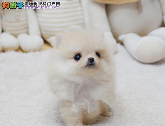 自家狗场繁殖直销博美犬幼犬微信咨询看狗狗照片
