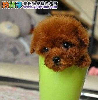 超萌微型红泰迪犬南阳找新家 小体型 百分百精品实物