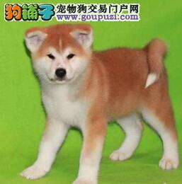 上海家养的秋田犬狗狗出售品相好家养活泼很忠诚的八公1