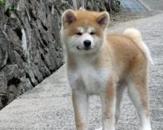 庆阳自家繁殖秋田犬出售公母都有期待您的咨询