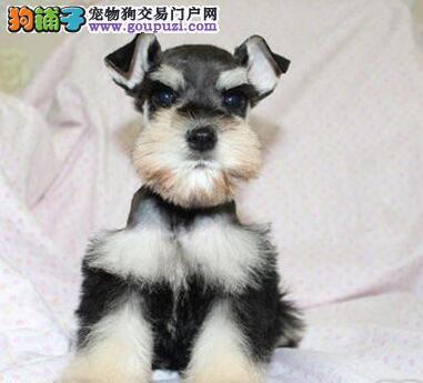 酒泉买纯种雪纳瑞幼犬  签活体质保协议   可检查健康