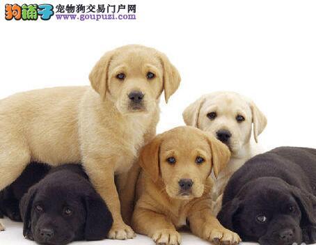 犬舍直销极品成都拉布拉多犬 三针疫苗打完送用品