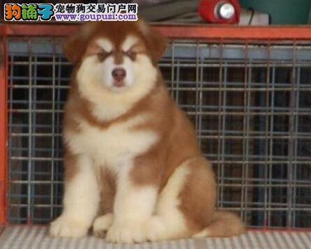 阿拉斯加雪橇犬吃的过多是在慢性自杀