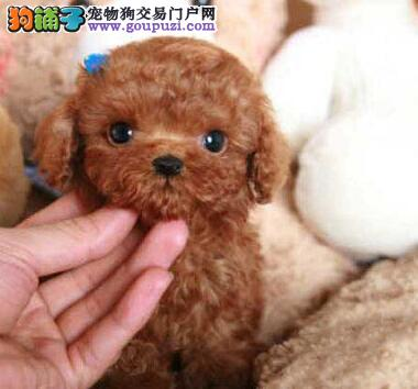 专业繁殖出售纯种 泰迪熊 玩具型 茶杯型 颜色齐全