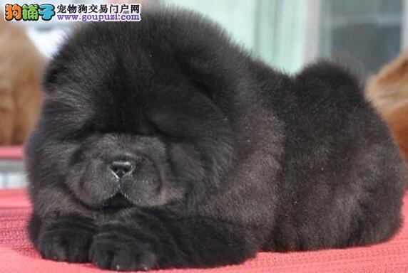 纯种大头肉嘴紫舌头松狮犬出售中 合肥周边免费送货