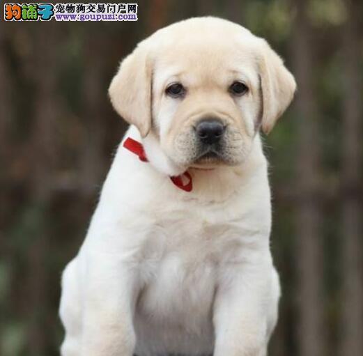 冠军级种犬后代拉布拉多犬出售 包养活 带健康证签合同