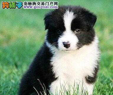 怀化市出售纯种边境牧羊犬幼犬 包健康 送狗用品