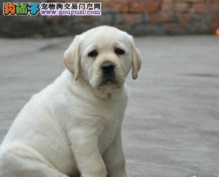 武汉市售纯种拉布拉多犬 神犬小七 拉拉幼犬出售中