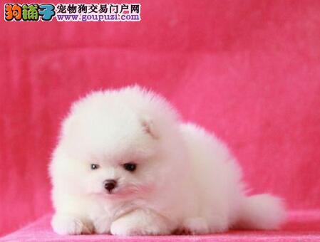 天津博美幼犬出售 微信视频送狗上门 终身质保签协议