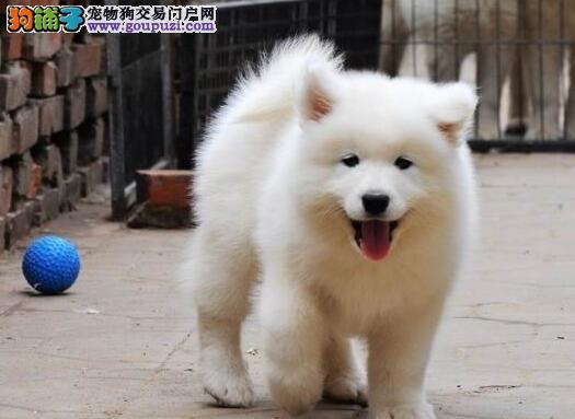 上海正规狗场出售微笑天使般的萨摩耶幼犬 签订协议