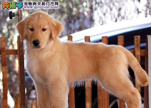 赛级双血统金毛犬黄金猎犬幼犬深圳出售公母全有