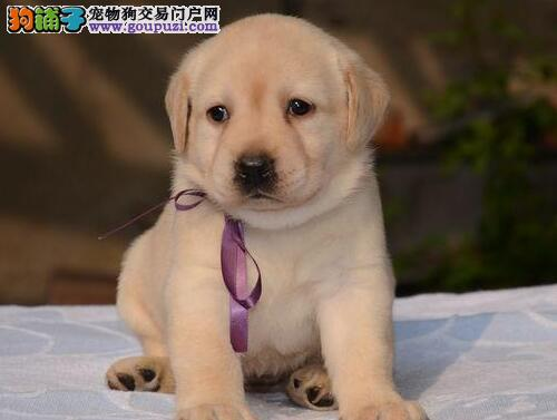 鄂州纯种大头版拉布拉多犬 导盲犬 聪明好驯养