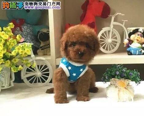 多只茶杯玩具血系的合肥泰迪犬找新家 签订售后协议