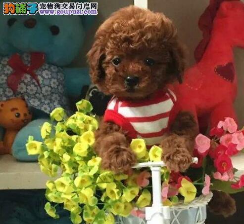 自家狗场繁殖直销泰迪犬幼犬欢迎您的指导