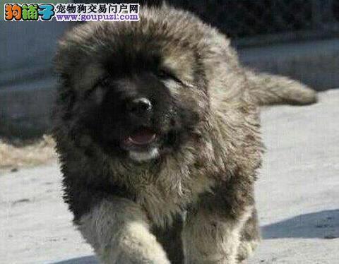 好礼送不停北京高加索犬保健康价格合理巨型高加索幼犬