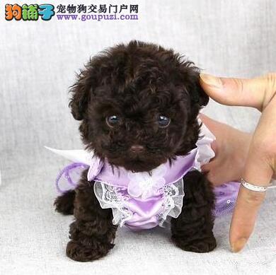 超小体玩具茶杯品相的泰迪犬找新家 乌鲁木齐市内送货2