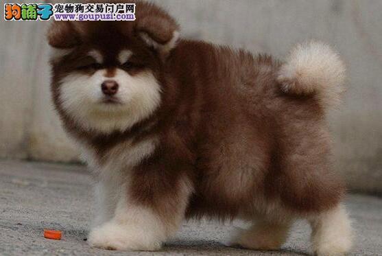 出售纯种阿拉斯加幼犬 纯种繁殖包健康 可上