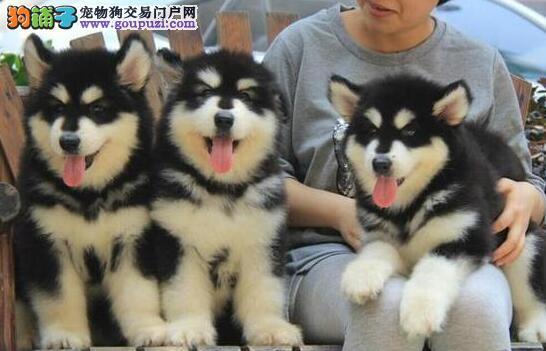 促销价出售优秀阿拉斯加雪橇犬 欢迎来西安犬舍挑选2