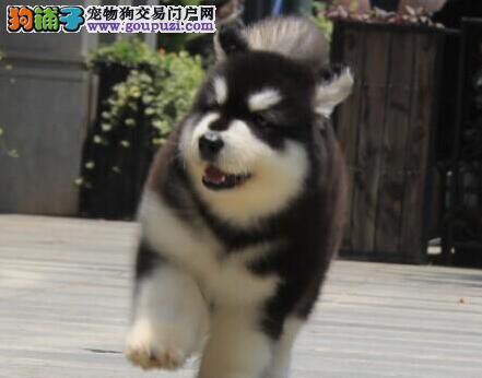 促销价出售优秀阿拉斯加雪橇犬 欢迎来西安犬舍挑选3