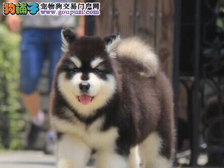 促销价出售优秀阿拉斯加雪橇犬 欢迎来西安犬舍挑选