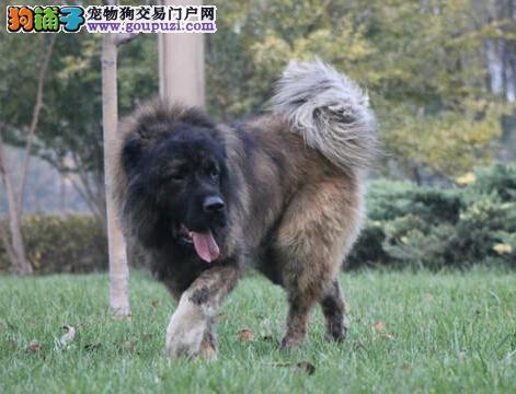 广州纯种高加索犬出售高大威猛骨架粗壮高加索幼犬