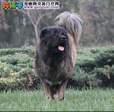 汉中看门护卫犬高加索幼犬出售纯种大骨架忠心耿耿好养