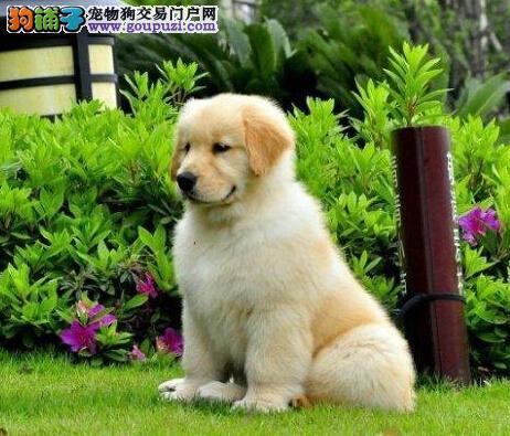 家养赛级大头枫叶金毛郑州等你抱回家 血统优良头版好