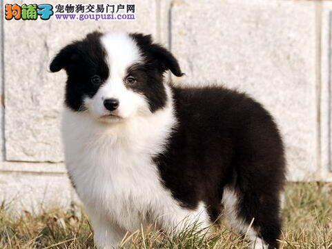 售活泼聪明的太原边境牧羊犬 有喜欢的朋友和我联系吧