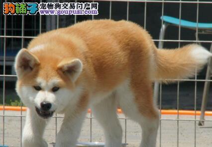 顶级犬舍繁殖出售秋田犬 北京周边可免费送货免邮费