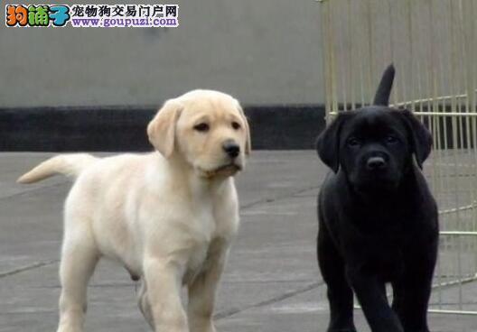 太原犬舍低价出售骨量大头版好拉布拉多犬 宽嘴大头
