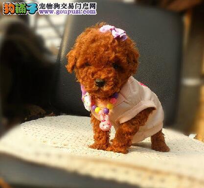 暮色之年 年老的贵宾犬需要得到怎样的护理方法