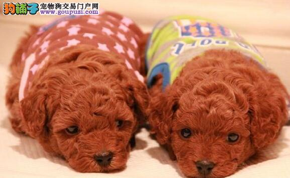 精品泰迪犬热卖中 血统认证保健康 三年联保协议1