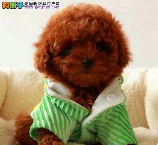 毛量大眼睛大的南京泰迪犬找爸爸妈妈 可签售后协议书3