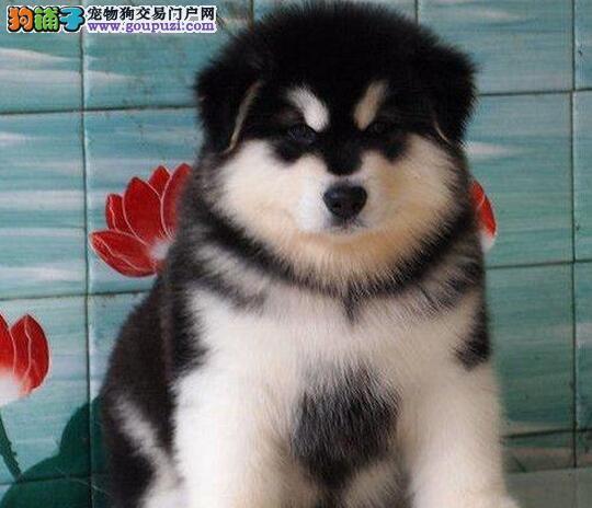 黑色阿拉斯加幼犬半价出售抢狗中可送到家保三月健康