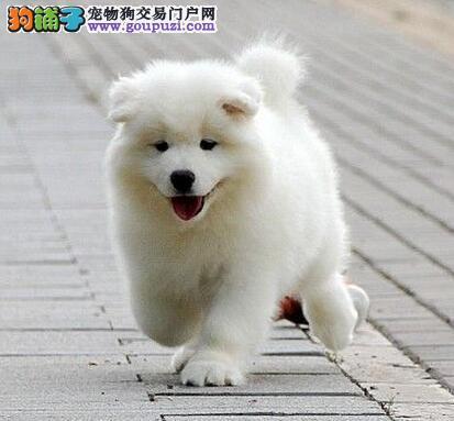 微笑天使版的南京萨摩耶低价转让 请上门选购看狗2