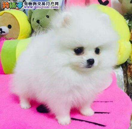 乌鲁木齐出售哈多利球形博美犬 品相无与伦比王族贵气