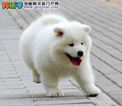 售纯种萨摩宝宝微笑天使小萨幼犬公母全有欢迎选购