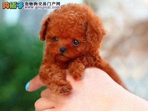 极品纯正的泰迪犬幼犬热销中签订三包合同