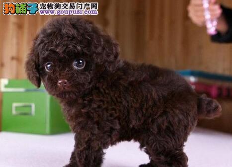 自家繁殖的茶杯犬特价出售了保证是最小体的哦