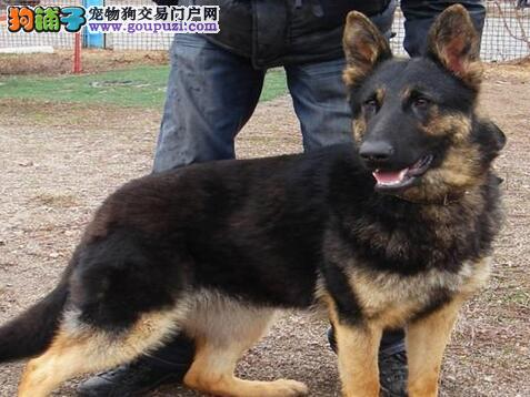 出售德国牧羊犬 保证健康 公母都有 包售后 价格优惠图片