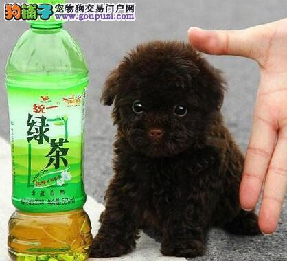 合肥犬舍隆重推荐超萌可爱小泰迪犬苹果脸大眼睛