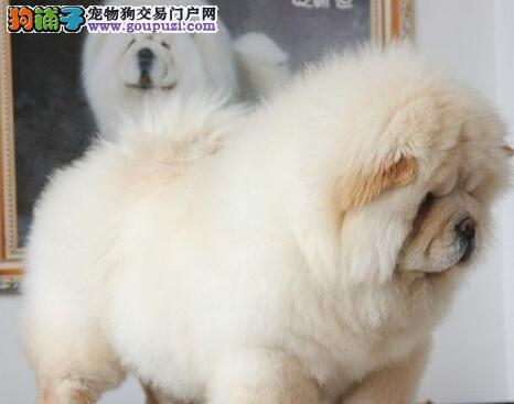 楚额、高贵、威严的狗狗——松狮