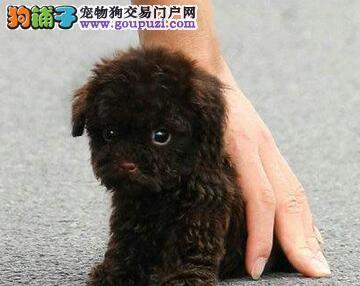 出售纯种韩国血统泰迪犬 青岛周边可免费送狗到家