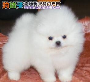 青岛自家狗场特价出售极品哈多利版博美犬 质量有三包