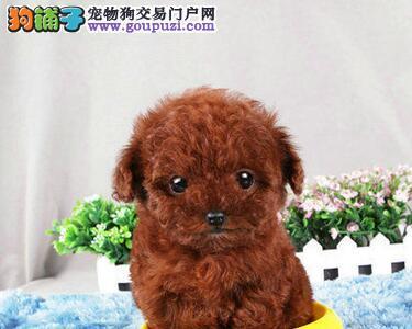 出售疫苗驱虫齐全的广州泰迪犬 我们承诺终身免费售后